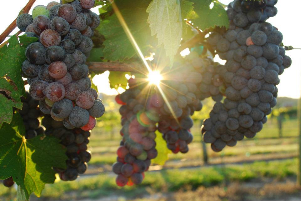 WEBIMAGES: winery-2012-harvest.jpg